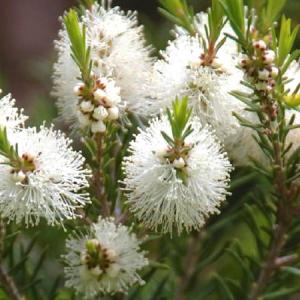 Αιθέριο Έλαιο Tea Tree